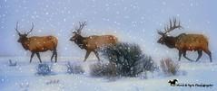 WINTER'S BEAUTY (Aspenbreeze) Tags: elk bullelk wildlife wildanimals wyomingwildlife coloradowildlife wyoming winter snow fog stormblizzasrd royalelk jacksonwyoming nature rural landscape bevzuerlein aspenbreeze moonandbackphotography