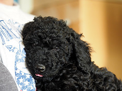Freddy (PrunellaCara) Tags: puppy black pet dog animal