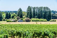 Brangayne Winery (Merrillie) Tags: vineyard landscape orangensw australia winery vines rural sheds newsouthwales trees summer grapes wines flora pinetrees centralwestnsw scenic scenery brangaynewinery farm countrside wedding nsw countryside