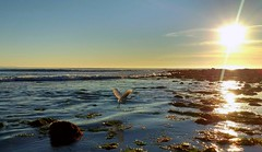 Great Egret taking off (willgoddard) Tags: greategret bird southerncalifornia california californiacoast ellwood naples tidepools sunset