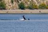 Transient orca tail slapping (5/21/15) (wanderinggrrl) Tags: year2 week52