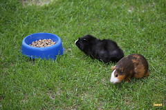 7. Guinea pigs / морские свинки