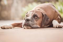 Doçura (Vinicius_Ldna) Tags: brazil dog love canon 50mm bokeh boxer care caress londrina 8569