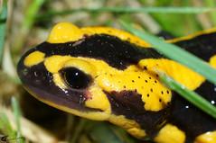 Salamandra salamandra 20150613 a , NGIDn1636401836 (naturgucker.de) Tags: johannisberg salamandrasalamandra naturguckerde carnolaber ngidn1636401836