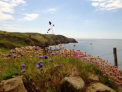 Pretty Flowers at Strumble Head (Snowdrop500) Tags: flowers summer wales strumblehead pembrokeshire southwestwales