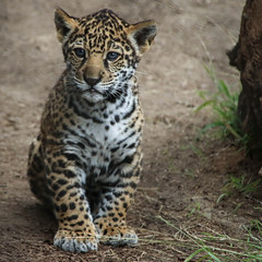 And Sometimes I Just Sits (Penny Hyde) Tags: cub bigcat jaguar sandiegozoo babyanimal