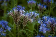 Phacelia tanacetifolia #9226 (svenpetersen1965) Tags: blue flower field bayern deutschland phacelia aying tanacetifolia rainfarnphazelie