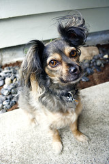 Treat? (MDawny72) Tags: summer dog pet chihuahua cute smile loving mutt sweet adorable july ears cargo summertime adopted secretgarden mylove loyal 2015 itsadogslife myphotography pomchi myhappyplace chipom
