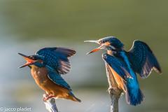 3I9A4010 (jaccop) Tags: fight kingfisher ijsvogel