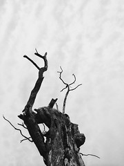Decay (raf_h) Tags: sky blackandwhite bw tree art nature contrast dark outdoors cloudy abstractart fineart trunk 365 conceptualart 365challenge 339365