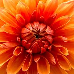 Orange (Jrgen Wilbert) Tags: dahlia plant flower nature germany place pflanze blume potsdam brandenburg dahlie
