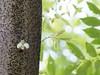 Cicada (axlemasa) Tags: 日本 夏 千葉 アジア セミ 孵化 羽 殻 乾かす