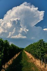 Zeus's Grapes (ggppix) Tags: cloud lake storm greek vineyard hungary wine god country zeus grapes thunderstorm agriculture mythology ungarn grape thunder balaton magyarország hungría 匈牙利 hongrie captureonepro balatonlelle balatonboglar balatonboglár венгрия magyarkoztarsasag somogycounty gyugy fujifilmxpro1 garyglenprice fujinonxf18135f3556rlmoiswr szölöskislak