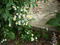 "Feverfew (nz_willowherb) Tags: see scotland flora tour visit dalkeith feverfew tanacetumparthenium to"" ""go"