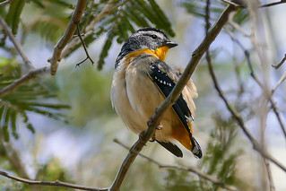 Spotted Pardalote (M)
