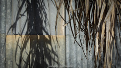 Frond and Fence (Theen ... busy) Tags: old shadow brown fence lumix grey rust iron bare over suburbia palm frond adelaide dried corrugated joins bending seams theen