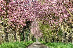 Love Tunnel (Mike Y. Gyver ( Organize in Albums)) Tags: myg d90 depthoffield dof pink rose cherry cherrytree 2015 nikon nikkor18105 nature nikkor belgium belgique tree landscape beautifull beauty