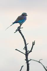 DSC_5473 (mylesm00re) Tags: africa coraciascaudatus gewonetroupant lilacbreastedroller limpopo welgevondengamereserve za bird southafrica