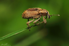 Weevil New (striving67) Tags: weevil insects macro bugs snout