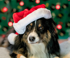 52/52 - Merry Christmas (jayvan) Tags: dash aussie australianshepherd dog christmas santahat bokeh 52wfd 52weeksfordogs posed sony