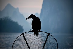 停留 Stay (Anna Kwa) Tags: cormorant bird phalacrocoracidae silhouette liriver 漓江 yangshuo 阳朔县 guilin guangxi southewest china annakwa nikon d750 afsnikkor70200mmf28gedvrii my stay 停留 always 永远 forever seeing heart soul throughmylens silhouettes karstmountains travel world cormorantfishing