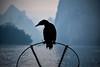 停留 Stay (Anna Kwa) Tags: cormorant bird phalacrocoracidae silhouette liriver 漓江 yangshuo 阳朔县 guilin guangxi southewest china annakwa nikon d750 afsnikkor70200mmf28gedvrii my stay 停留 always 永远 forever seeing heart soul throughmylens silhouettes karstmountains travel world cormorantfishing