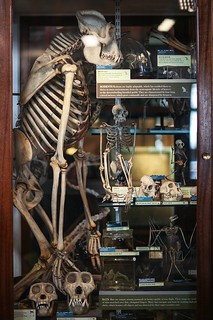 Ape Skeleton