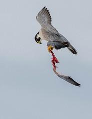 _WTR5665 (EYoung84) Tags: falco peregrine birdinflight bif flight pigeon bird dead falcon birdofprey