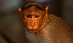 Almost  to cry ? (Rajavelu1) Tags: monkey animals animalphotography streetphotography expression canon6d outdoorphotography art creative simplysuperb mostbeautifulpicture