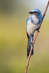 Florida Scrub Jay (Outback Photo Adventures) Tags: floridascrubjay scrubjay scrub jay florida threatened floridawildlife fl canon
