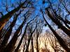 Last light (Colin-47) Tags: lastlight woodland december 2016 trees birch sunset sky silhouettes eos6d ef1635f4 norfolk uk colin47 canon lines light nature