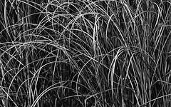 Curved And Curled (AnyMotion) Tags: grass gräser dry trocken detail macro makro nature natur cemetery 2016 frankfurt anymotion maincemetery hauptfriedhof frankfurtnordend hessen germany blackandwhite bw 7d2 canoneos7dmarkii sw
