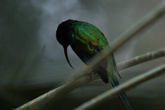Malachite Sunbird (Nina Leitgeb) Tags: malachite sunbird bird nektarvogel malachit
