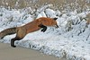 Take A Leap Of Faith (marylee.agnew) Tags: red fox hunting winter cold mammal canine predator wildlife nature animal outdoor