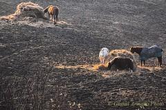 I cavalli non riposano quasi mai!!! (Gianni Armano) Tags: cavalli non quasi mai riposano colli tortonesi alessandria piemonte italia foto gianni armano photo flickr