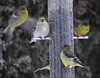 Jan15,2017 DSC09222 Lesser Goldfinch and one American Goldfinch (terrygray) Tags: finch