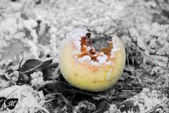 _DSC0877 (melanie photographies) Tags: pomme apple fruit hiver winter givre glacé artistic ambiance artistique extérieur nature natural naturemorte outside froid bokeh flou nikon nikond750 d750
