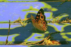 Abstracted Butterfly! (maginoz1) Tags: bstract art manipulate contemporary flowers grain butterfly summer january 2017 bullarosegardenalisterclarkmemorialgarden bulle melbourne victoria australia canon g3x
