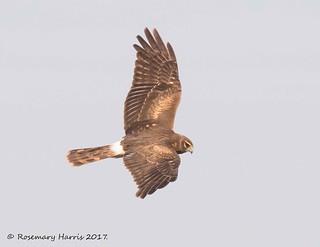 Northern Harrier in Explore Feb 07 2017