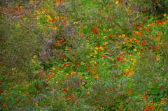 Tropaeolum majus, Frenchmans Bay, near Albany, WA, 28/10/16 (Russell Cumming) Tags: plant weed tropaeolum tropaeolummajus tropaeolaceae frenchmansbay albany westernaustralia