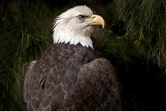 Southern Bald Eagle (helenehoffman) Tags: haliaeetusleucocephalusleucocephalus sandiegozoosafaripark bird southernbaldeagle conservationstatusleastconcern birdofprey baldeagle raptor carnivore animal