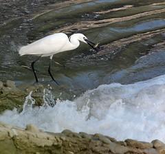 ART75134 (F. Aurioles) Tags: grande andaluca spain laguna baeza comn garcilla boyera garcetilla