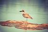 Stone Plover (raveclix) Tags: india bird birds canon birding sigma incredibleindia canoneos400d digitalrebelxti sigma150500mmf563apodgoshsm raveclix