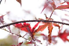 Drops 3 (zeriphon_the_real) Tags: plants nature reflections outside drops natur pflanzen leafs bltter tropfen reflektionen drausen zeriphon