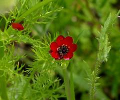 Pheasant's Eye 'Adonis annua' (Helen:) Tags: adonisannua pheasantseye wildflower