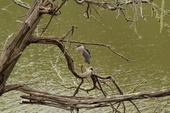 Balancing Heron (claire costigan hintze) Tags: tree bird heron water branch balancing largebird nikond700 schwanlake