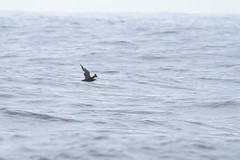 South Polar Skua--Monterey Seavalley pelagic, Monterey Co, CA (AlexLamoreaux) Tags: