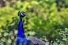 Peacock (Aiel) Tags: blue green bird forest peacock jungle fowl karnataka tamilnadu peafowl creat masinagudi bandipur wyanad mudumalai madumalai
