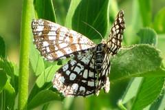 rcsos rtiaraszol / Latticed Heath (debreczeniemoke) Tags: summer insect moth meadow geometridae insecta moly nyr rovar lepke rt latticedheath chiasmiaclathrata gitterspanner gomtrebarreaux kleespanner canonpowershotsx20is rcsosrtiaraszol kleekruterrasengitterstriemenspanner araszolk