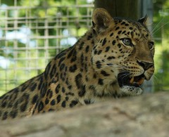 Amur Leopard (Annette Rumbelow) Tags: camera zoo sony leopard wilson captive marwell annette bigcats amur a77 panthera pardus orientalis rumbelow
